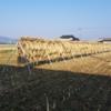 天日干しの稲干し台も倒れてませんでいた。来週脱穀できそう♪
