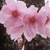 2020.4.17 桜