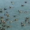 濁った川が水鳥の楽園 2020