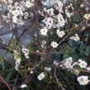 椿山荘の梅