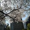 年度末と桜の花