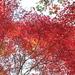 アトリと紅葉