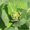 アブラナ科野菜の花