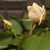 バラの続きと、今日の庭