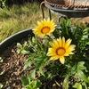これは黄色い花だ。名前はまだない、いや、知らない