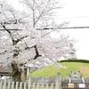耳塚の桜。豊国神社前で満開。