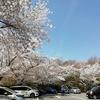 京都さくら散歩(きぬかけの路)