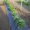 ピーマン畝の除草