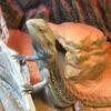 フトアゴヒゲトカゲの、消灯時間設定