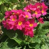 冬から春の花壇に最適! ガーデンプリムラ・アラカルトシュシュ(ピンク)