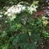 セリ科の真打が開花。
