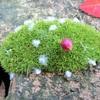 偶然ですが、小さい苔ツリー ⁈ を発見しました