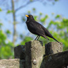 街の鳥、日欧~クロウタドリと、そして…~