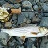 ニゴーイ釣れた夏の終わり湖北