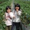 熊本地震から3年9か月ぶりにイチゴ園再開