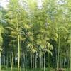 竹の林  :金沢
