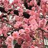 梅が見頃の大阪天満宮。この時期ならではの登龍門の通り抜けをご紹介。