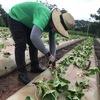 【腰を砕く作業】オーストラリアファームジョブ ストロベリー カッティングジョブ