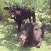 生活に溶けこむインドの動物達