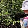 初めてブルーベリー狩りへ。摘みたてのブルーベリーは、とってもおいしい