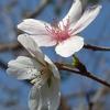四季桜 2015 10月