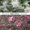 ギンバイカ(銀梅花)とギョリュウバイ(御柳梅) ともに,フトモモ目 Myrtales,フトモモ科 Myrtaceae の植物.フトモモ科?  あまり聞いたことがないのですが,よく知られた植物がかなり属しています.オールスパイス(ピメンタ属/オールスパイス属),  グアバ(バンジロウ属),  チョウジ(フトモモ属),  ユーカリ(ユーカリ属).花々の画像をお借りし,最近のフトモモ科の系統樹を掲載します.「梅/梅花の名前が付けられた植物」10