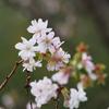 「十月桜」咲いてました(笑)