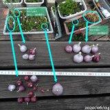 第4次にんにく収穫、山芋に追肥、ツルに蕾、飛び交うクロバネキノコバエ