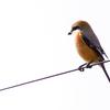 🦜野鳥の回【8】🆕カワラヒワ(河原鶸)