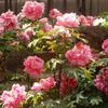 大根島・由志園の花と情景 7(島根県松江市)