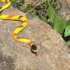 横浜戸塚区アミメニシキヘビ屋根裏で発見。捕獲場所はどこで見つかった?