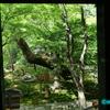 諸戸氏庭園  《#1》プロローグ ― 美しい庭園の片隅でひっそりと咲くガクアジサイ ―