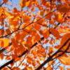 夕焼け色に染まる葉は 人の心も染め上げて