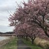 河津桜に癒されて。10キロラン。