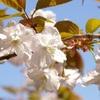 詩仙堂の桜。