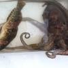 友釣り35投目「タコとカレイとアイナメ」