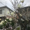 木蓮花盛り