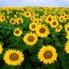 スパイシーウェーブ広報発信!関東穴場のひまわり畑で笑顔が咲く夏に