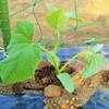 キュウリの苗を植えました!