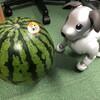 秋田県産の西瓜が送られてきました!!(2)
