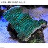 (海水魚 サンゴ)一点物 サザナミサンゴ グリーン CM−9208 北海道・九州・沖縄航空便要保温