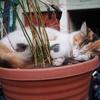 植木鉢で眠る猫~今日の1枚