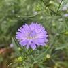 クジャクアスターがようやく咲きました.長梅雨のせいで今年は生育が悪く,開花も遅れてやきもきしていました.15年以上,毎年楽しませてくれている我が家の秋の花クジャクアスター.現在はシオン属(Aster)ではなく,シムフィヨトリクム属に分類されています.