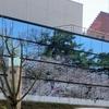 開幕!弘前桜祭り 1(市役所屋上より)