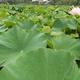 7月から8月は上野恩賜公園不忍池の「蓮の花」が見頃!