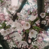 【昭和公園】函館の桜が咲いたよー【ポールスターSC】