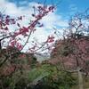 【日本一早い桜祭り】八重岳桜祭り行ってきました