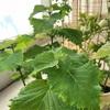ベランダ栽培で大葉をたくさん収穫してます