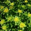 キリンソウの花