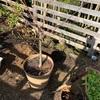 モモの地植え